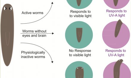 UoH researchers discover extraocular light sensing system in flatworms